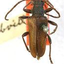 Image of <i>Neanthophylax subvittatus</i> (Casey 1891)