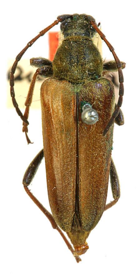 Image of <i>Cosmosalia chrysocoma</i> (Kirby 1837)