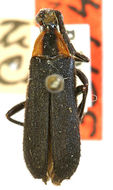 Image of <i>Lycochoriolaus lateralis</i> (Olivier 1795)