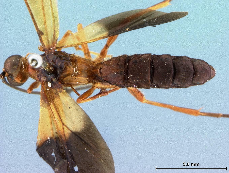 Image of <i>Macrobracon flavonotum</i> Baltazar 1963