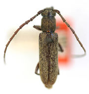 Image of <i>Anelaphus brevidens</i> (Schaeffer 1908)