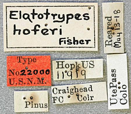 Image of <i>Elatotrypes hoferi</i> Fisher 1919