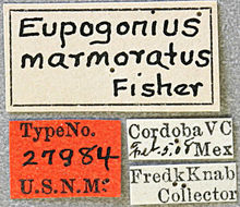 Image of <i>Eupogonius infimus</i> (Thomson 1868)