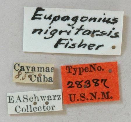 Image of <i>Eupogonius nigritarsis</i> Fisher 1926