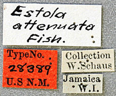 Image of <i>Estola attenuata</i> Fisher 1926