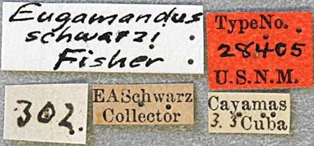 Image of <i>Eugamandus schwarzi</i> Fisher 1926