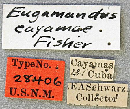 Image of <i>Eugamandus cayamae</i> Fisher 1926