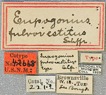 Image of <i>Eupogonius fulvovestitus</i> Schaeffer 1905