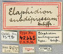 Image of <i>Anelaphus subdepressum</i> (Schaeffer 1904)