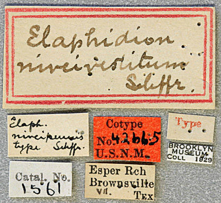 Image of <i>Anelaphus niveivestitus</i> (Schaeffer 1905)