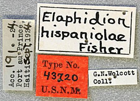 Image of <i>Anelaphus hispaniolae</i> (Fisher 1932)