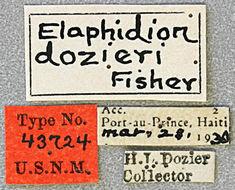 Image of <i>Trichophoroides dozieri</i> (Fisher 1932)