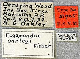 Image of <i>Eugamandus oakleyi</i> Fisher 1935