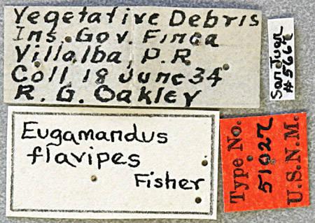 Image of <i>Eugamandus flavipes</i> Fisher 1935