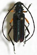 Image of <i>Amphionthe caudalis</i> Schwarzer 1929