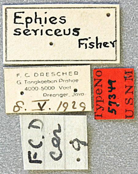 Image of <i>Ephies sericeus</i> Fisher 1936