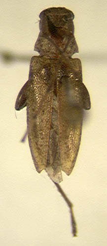 Image of <i>Anisopodus dominicensis</i> Villiers 1980