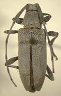 Image of <i>Canidia canescens</i> (Dillon 1955)