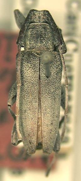 Image of <i>Canidia mexicana</i> Thomson 1860