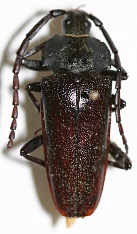 Image of <i>Solenoptera michelii</i> (Chemsak 1979)