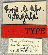 Image of <i>Emphreus rotundipennis</i> Breuning 1950