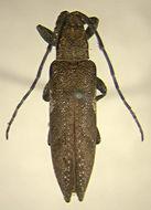Image of <i>Epopea orientalis</i> Breuning 1940
