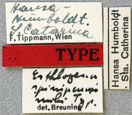 Image of <i>Esthlogena spinipennis</i> Breuning 1942