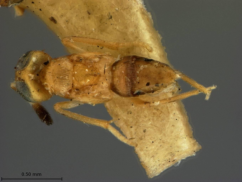 Image of <i>Cheiloneurus swezeyi</i> Ashmead 1903
