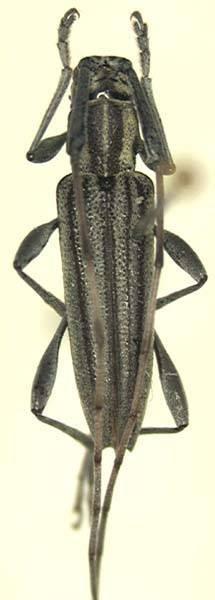 Image of <i>Canidia turnbowi</i> Wappes & Lingafelter 2005