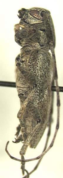 Image of <i>Canidia chemsaki</i> Wappes & Lingafelter 2005