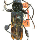 Image of <i>Physocnemum brevilineum</i> (Say 1824)