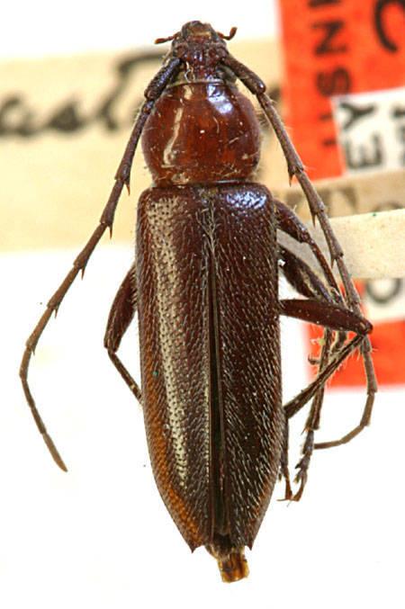 Image of <i>Stenosphenus dolosus</i> Horn 1885