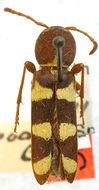 Image of <i>Neoclytus provoanus</i> Casey 1924