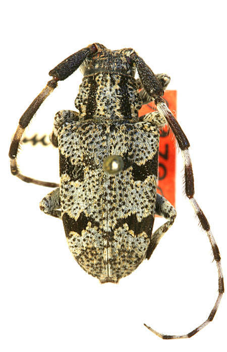 Image of spotted tree borer