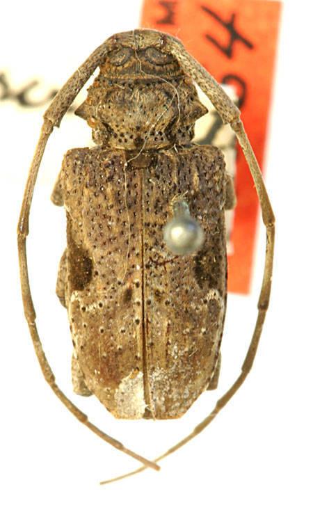 Image of <i>Lagocheirus araneiformis ypsilon</i> (Voet 1778)