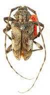 Image of <i>Lagocheirus procerus</i> Casey 1913