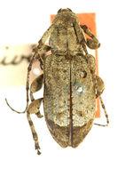 Image of <i>Leptostylus transversus</i> (Gyllenhal 1817)