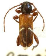 Image of <i>Phymatodes vulneratus</i> (Le Conte 1857)