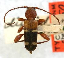Image of <i>Phymatodes varius</i> (Fabricius 1776)