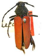 Image of <i>Metaleptus lecontei</i> (Casey 1912)