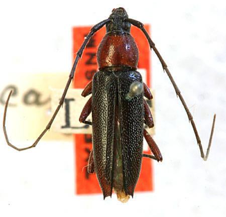 Image of <i>Stenosphenus cribripennis novatus</i> Horn 1885