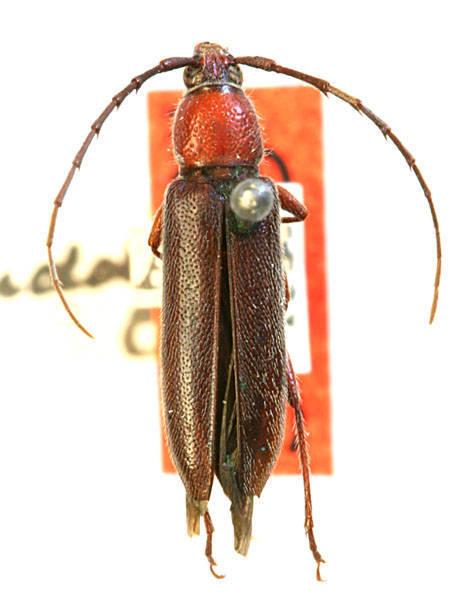 Image of <i>Stenosphenus debilis</i> Horn 1885