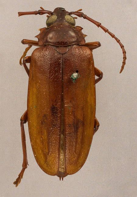 Image of <i>Prionus pocularis</i> Dalman 1817