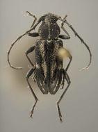 Image of <i>Anelaphus praeclarus</i> Lingafelter 2008
