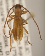 Image of <i>Nesiosphaerion charynae</i> Lingafelter 2008