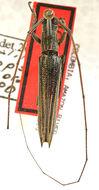 Image of <i>Hippopsis brevithorax</i> Galileo & Martins 2007