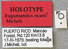 Image of <i>Eugamandus ricarti</i> Micheli 2003