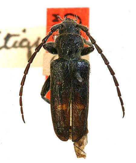 Image of <i>Semanotus litigiosus</i> (Casey 1891)