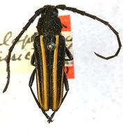 Image of <i>Zalophia funebris</i> (Bates 1880)