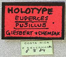 Image of <i>Euderces pusillus</i> Giesbert & Chemsak 1997
